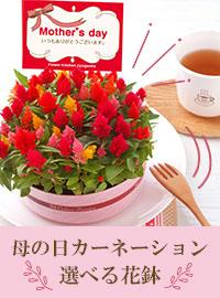 母の日カーネーション・選べる花鉢